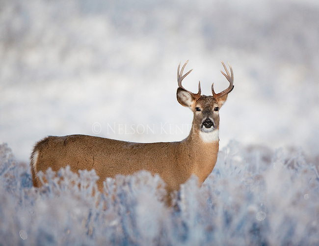 Whitetail Buck in early winter snow and frost