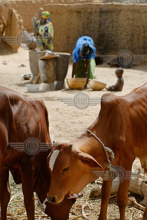 "Young cattle are tethered nearby village women, Nana Badama (left) and Hinda Salha (right), working in Dan Saga village. The women are grinding millet to make an edible ""kalebash"" paste."