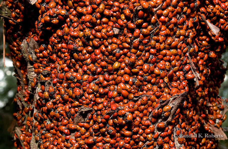 Ladybugs, or Asian Lady Beetles, (Coccinella septempunctata) gather by the thousands on trees and rocks on Green Mountain near Boulder, Colorado. The ladybugs assemble to share body heat during hibernation.
