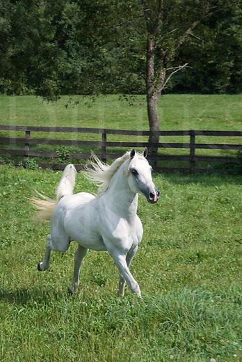 Picture of an Arabian stallion running in sunshine across green pasture grass.