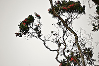 An 'apapane in flight between the branches of an 'ohi'a lehua tree, Volcano, Big Island; the red and black 'apapane is a native Hawaiian bird who feeds on the nectar of orange lehua blossoms throughout the islands.