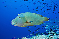 RH1066-D. Napoleon Wrasse (Cheilinus undulatus), also called Humphead or Maori Wrasse, size to 2.3 meters, often approaches divers. Palau, Pacific Ocean.<br /> Photo Copyright &copy; Brandon Cole. All rights reserved worldwide.  www.brandoncole.com