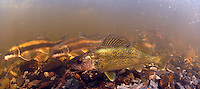 Walleye (with suckers)<br />