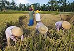 Balinese women harvest rice