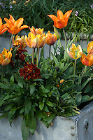 Orange tulips and russet Phlox planted in an old water tank