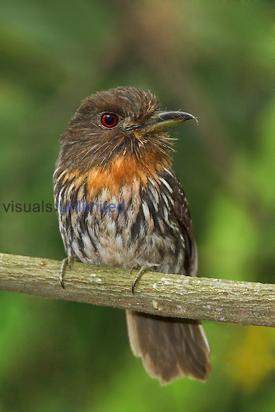 White-whiskered Puffbird (Malacoptila panamensis) perched on a branch at the Rio Palenque Reserve in northwest Ecuador.
