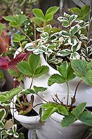 Variegated strawberry plants in a white straberry pot.