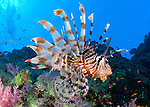 Lionfish (Pterois volitans), side on view in front of a colourful offshore reef.  Shaab Mahrous, Southern Egyptian Red Sea