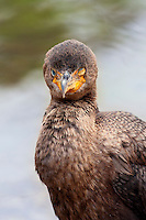 Close up photograph of a Cormorant with one eye shut.