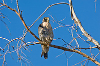 A Peregrine Falcon (Falco peregrinus) hunting from a high perch in Tucson, Arizona