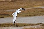 In Flight, seagull in Upper Newport Bay, CA.