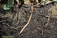 1Y05-024x Earthworms in soil among roots of strawberry plants..