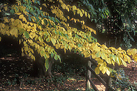 American Yellowwood Tree in autumn Cladastris kentuckea aka Cladastris lutea with wooden fence and shade