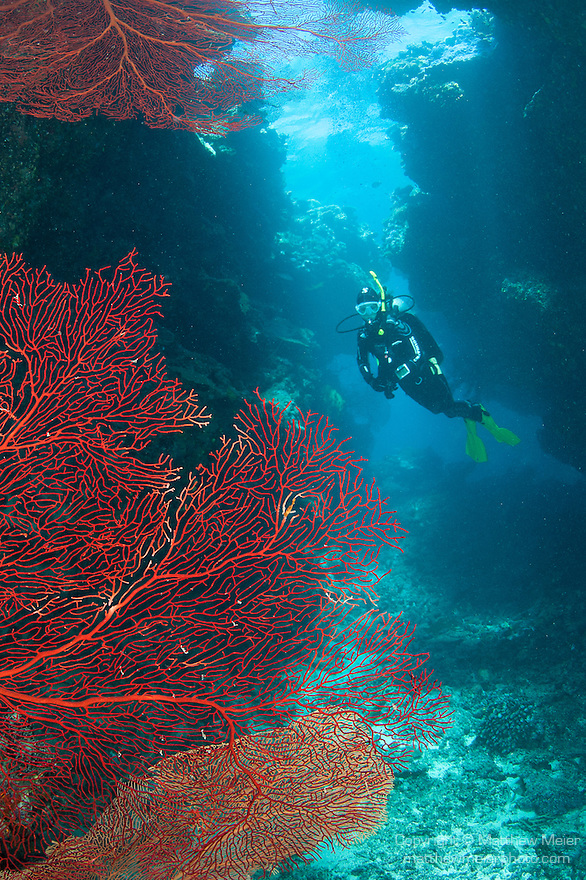 Bligh Waters, Vatu I Ra Passage, Fiji; a scuba diver hovers in the background past a large, red gorgonian sea fan growing on the wall of the cathedral at the E6 dive site as light rays stream in from above