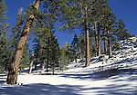 Pines in Long Valley