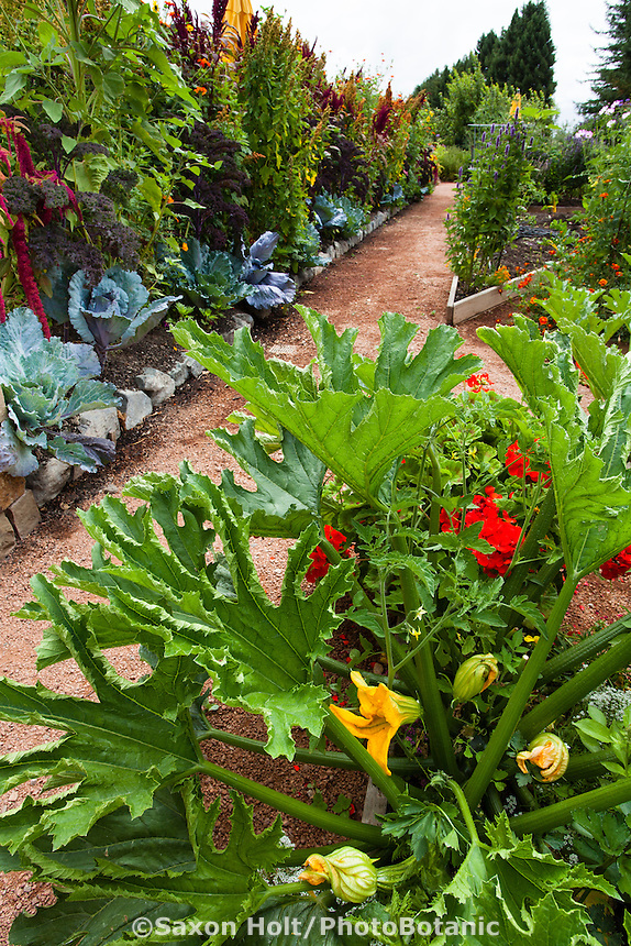 Flowering squash in intensively planted organic vegetable garden bed