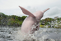 RB50718-D. Amazon River Dolphin (Inia geoffrensis) breaching, also called Boto or Pink River Dolphin. Sequence, Frame 1 of 4. Rio Negro, Brazil, South America.<br /> Photo Copyright &copy; Brandon Cole. All rights reserved worldwide.  www.brandoncole.com