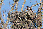 Brazoria County, Damon, Texas; a juvenile bald eagle sitting on it's nest at the top of a large tree on the edge of the pasture in early morning sunlight, it's sibling is barely visible in the nest and neither had yet to fledge