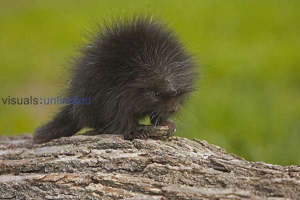 Common Porcupine juvenile ,Erethizon dorsatum,, North America.