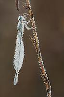 Blue-tipped Dancer (Argia tibialis), Ice-covered female clinging to vegetation, Howell Woods Environmental Learning Center, Four Oaks, North Carolina, USA