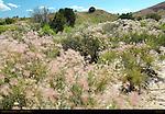 Apache Plumes, Fallugia paradoxa, Plaza Blanca, Abiquiu, New Mexico