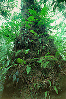 Tree trunk covered with ferns and other epiphytes in rainforest of Tai National Park in Western Ivory Coast, West Africa