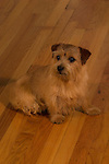 Norfolk Terrier inside on a hardwood floor Shopping cart has 3 Tabs:<br /> <br /> 1) Rights-Managed downloads for Commercial Use<br /> <br /> 2) Print sizes from wallet to 20x30<br /> <br /> 3) Merchandise items like T-shirts and refrigerator magnets