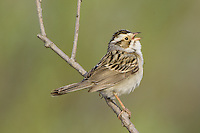 Clay-colored Sparrow singing while perched on a branch