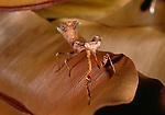 Dead-leaf mantis, Malaysia