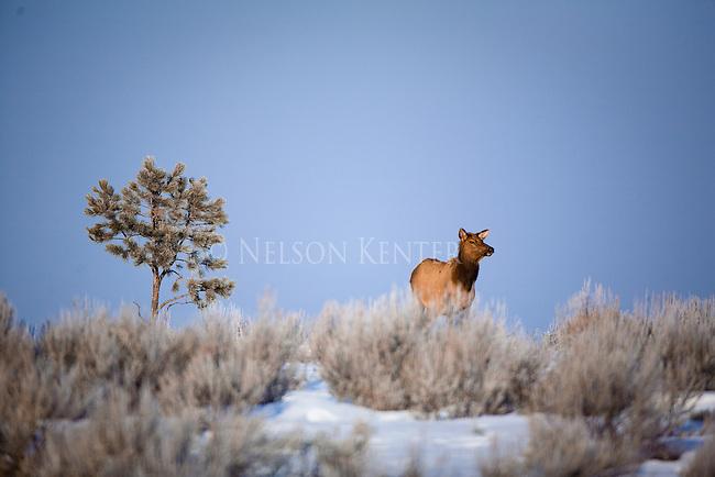 A lone cow elk in a sage brush field in winter