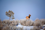 A lone cow elk in a sage brush field in winter