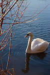 White swan, English bay, Stanly Park, Vancouver, Canada