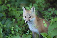 A young wild fox sits at the edge of the woods in Albemarle County, Va. Photo/Andrew Shurtleff