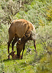 This cow elk licks her calf clean from sent just moments after birth in Yellowstone National Park, June 3, 2011. Photo by Gus Curtis.