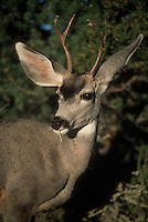 Deer eating plant, Buck, White-tail Odocoileus virginianus