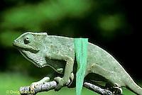 CH25-034z  African Chameleon - color change due to temperature difference, under leaf skin is cooler -   Chameleo senegalensis
