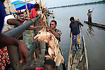 LISALA, DEMOCRATIC REPUBLIC OF CONGO APRIL 5: Villagers sell a pig to passengers traveling on a boat on the Congo River, with destination Kinshasa on April 5, 2006 in Lisala, Congo, DRC. The boat carries many animals such as pigs, goats, crocodiles, monkeys, lizards, etc. Passengers usually sleep in the open, often on top of maize bags or other cargo. The Congo River is a lifeline for millions of people, who depend on it for transport and trade. The journey from Kisangani to Kinshasa is about 1750 kilometers, and it takes from 3-7 weeks on the river, depending on the boat. During the Mobuto era, big boats run by the state company ONATRA dominated the traffic on the river. These boats had cabins and restaurants etc. All the boats are now private and are mainly barges that transport goods. The crews sell tickets to passengers who travel in very bad conditions, mixing passengers with animals, goods and only about two toilets for five hundred passengers. The conditions on the boats often resemble conditions in a refugee camp. Congo is planning to hold general elections by July 2006, the first democratic elections in forty years. (Photo by Per-Anders Pettersson)...