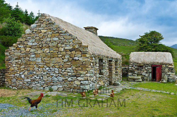 Cockerel and hens at historic cottage of Dan O'Hara, evicted by the British and forced to emigrate, Connemara, County Galway