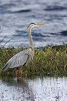 Great Blue Heron   #H3