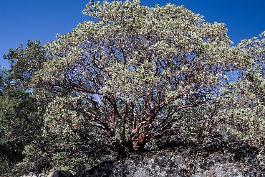 Manzanita Tree in the California desert.