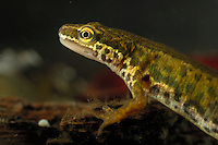 Palmate Newt (Triturus helveticus) male, Germany.