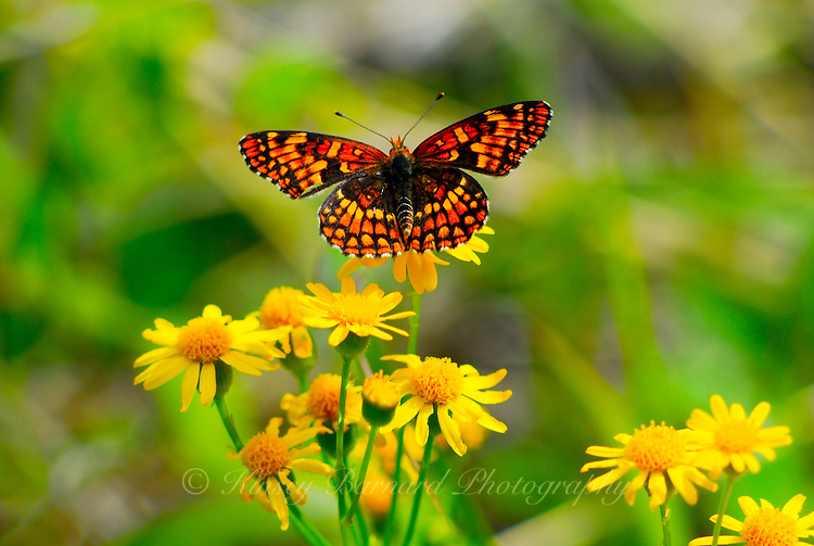 Butterfly perched on yellow wild daisies