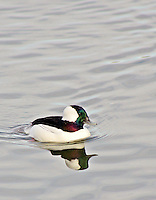 Bufflehead drake, Magness Lake near Heber Springs, Arkansas.