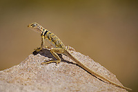 414390007 a wild great basin or desert collared lizard crotaphytus insularis bicinctores perches on a rock along chalk bluff road north of bishop inyo county california united states