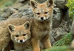 Argentine Gray Fox, Torres Del Paine National Park, Chile
