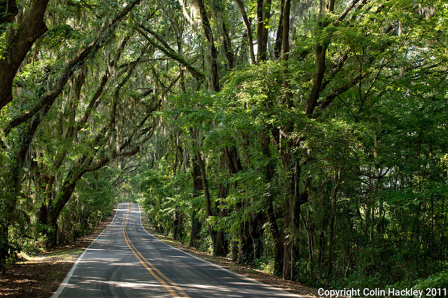 MILLER LANDING ROAD: Live Oaks create a tree tunnel between Meridian Road and the eastern shore of Lake Jackson..COLIN HACKLEY PHOTO