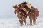 A pair of Icelandic horses in a snow storm, Iceland