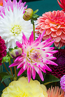 Dahlia mixture variety colors types, including cactus. white, pink, orange, yellow, red, anemone