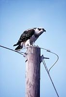 ANIMALS<br /> Osprey<br /> Pandion haliaetus<br /> Duck, NC
