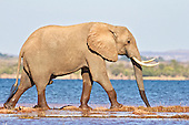 Elephant bull crossing a stretch of water to reach better feeding nearby.